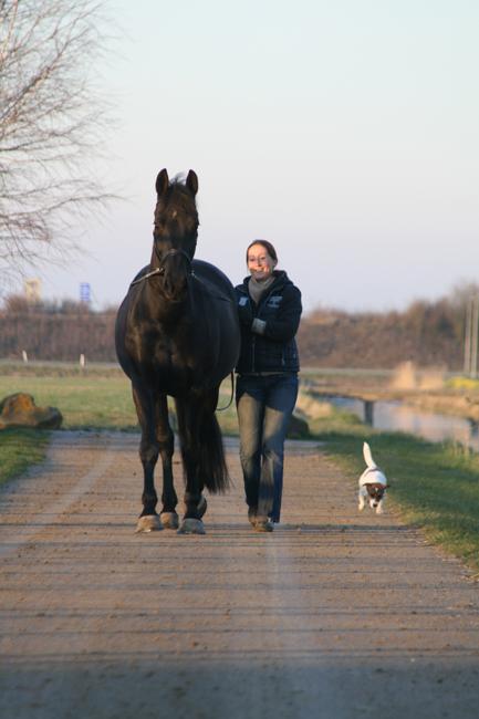Een paard onbelast aan de dubbele lange lijnen voor revalidatie