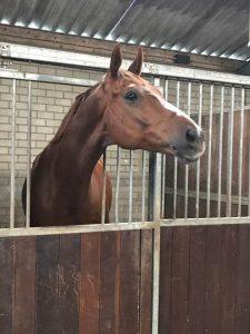Equinova's Dani V.O.D. een paard waar je in alle opzichten blij van wordt!