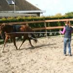 Het beleren van een jong paard hier aan de dll mbv een bitloos hoofdstel, Bare Back Pad en opzetstukje