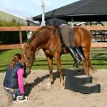 """Beleren van een jong paard, met hier het """"hangen"""" om aan het gewicht van de ruiter te wennen"""